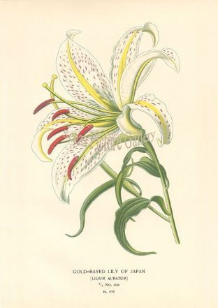 Lily, Gold-Rayed Of Japan